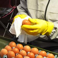 卵をひとつひとつ丁寧に拭いてから出荷